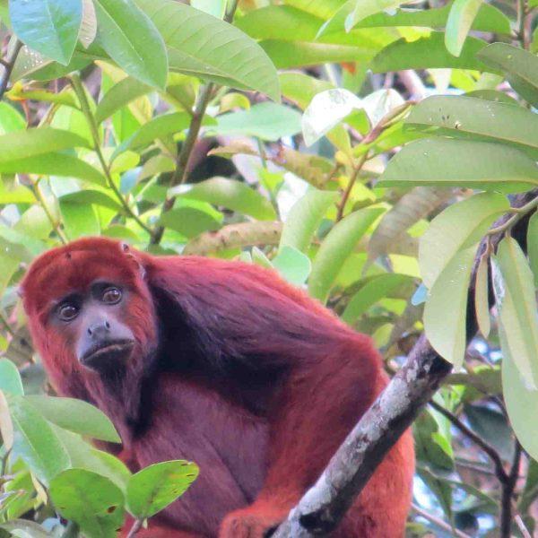 Red howller monkey