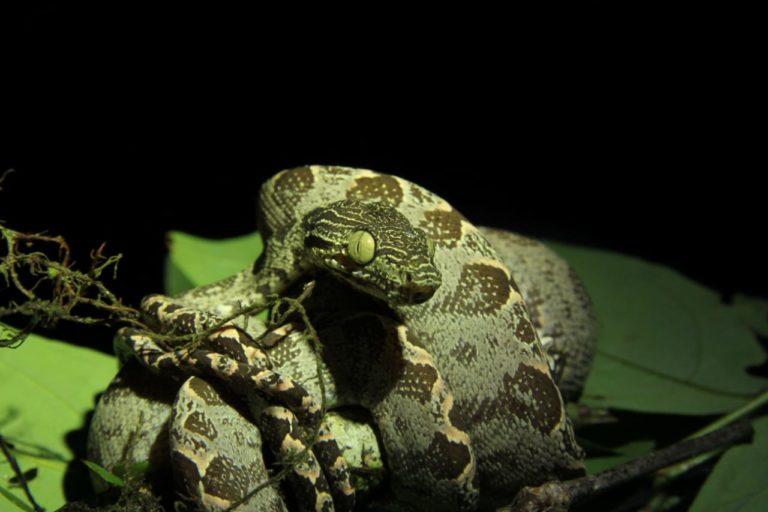Serpiente Cuyabeno